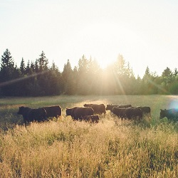 Cattle Put to Work to Suppress Fires