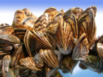 Invasive species like these zebra mussels can form dense monocultures and impact ecosystems, hydro-electric facilities, and recreational opportunities. Photo courtesy of US Fish and Wildlife Service.